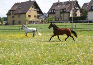 Reitstall-Diana-Pferde-auf-der-Wiese (24)